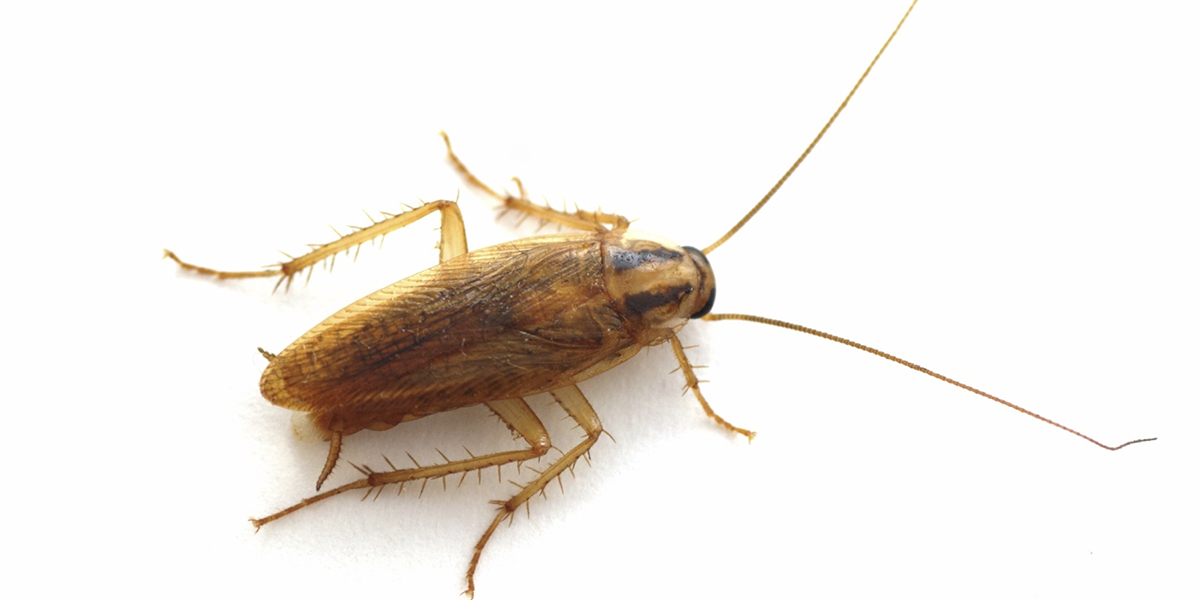 What do cockroaches look like?