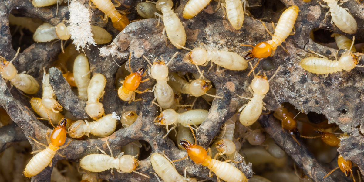 Termites - Bug Z Termite and Pest Control