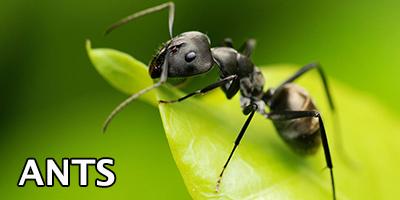Ants---Bug-Z