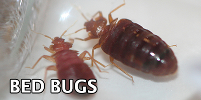 Bed-Bugs---Bug-Z