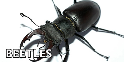 Beetles---Bug-Z