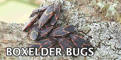 Boxelder-Bugs---Bug-Z