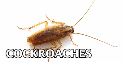 Cockroaches---Bug-Z