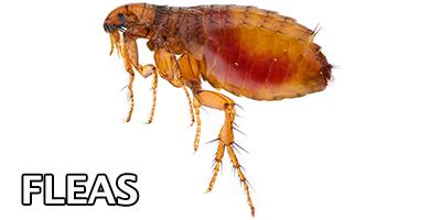 Fleas---Bug-Z